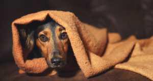 Joulupöydässä vaanii vaara lemmikille – miksi suklaa on koirille ja kissoille myrkyllistä?