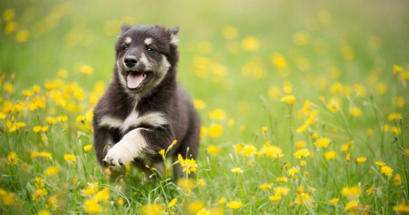 Koirat on pidettävä kytkettyinä muualla kuin omalla pihamaalla 1.3.–19.8., poikkeuksena ovat muun muassa alle viiden kuukauden ikäiset pennut.
