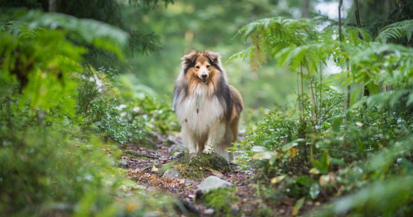 Koiranomistajan on syytä olla taas tarkkana luonnossa liikkuessaan.