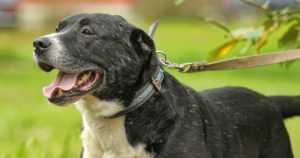 Koira puri ohikulkenutta pikkupoikaa sääreen – talutushihna ei ollut missään kiinni