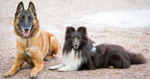 Laittomaan koirakauppaan voidaan puuttua – tunnistusmerkinnällä ja rekisteröinnillä