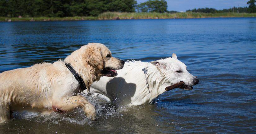 Vedessä peuhaaminen on monen koiran lempipuuhaa kesähelteillä.