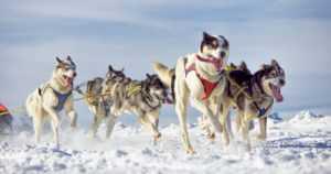 Koiravaljakkojoukkueen kohtalokas kilpailumatka – kuolleita koiria turkulaisen huoltoaseman pihalla