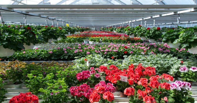 Kukkia viljellään Suomessa liki 400 puutarhalla etelärannikolta Ivaloon asti, kuvassa Kokon puutarha Äänekoskella.