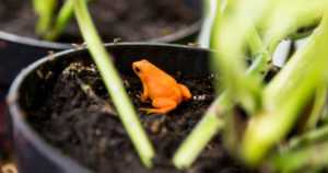 Tässä on yksi maailman uhanalaisimmista sammakoista – ja löydät sen Suomesta