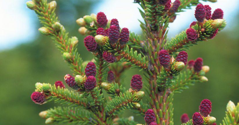 Kuusen kukinta on tänä keväänä erittäin runsasta suuressa osassa Etelä-Suomea.