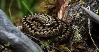 Kyykäärmeen sahalaitakuvio luo optisen illuusion – ei silti hämää tarkkasilmäisiä petolintuja