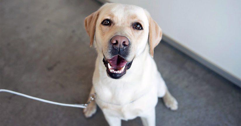 Labradorinnoutaja edelleen Suomen suosituin koira – kotimaiset rodut nousussa