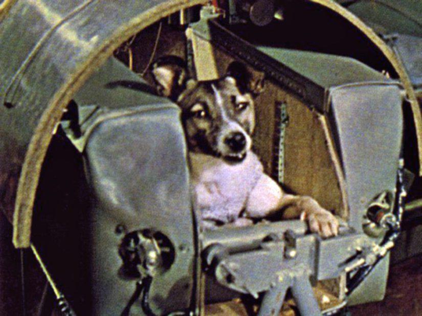 Laika oli kolmevuotias, kadulla kylmään ja koviin olosuhteisiin tottunut koira. joten sitä pidettiin sopivana avaruuskoiraksi.