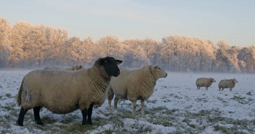 Luonnossa elävien petojen lisäksi myös irrallaan olevat koirat voivat vahingoittaa lampaita.