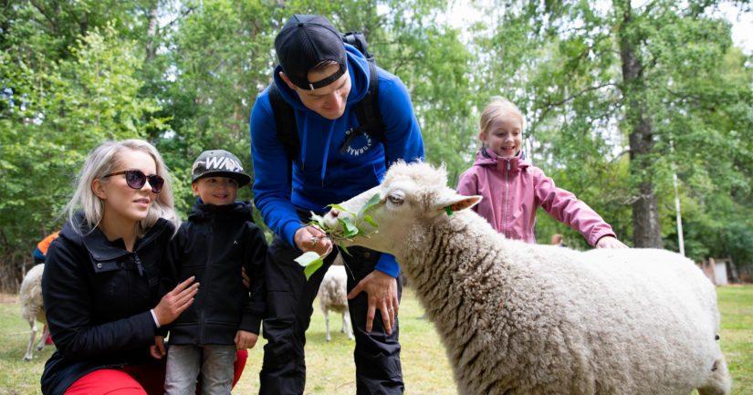 Perhe ruokkii lammasta Oulujärven Ärjänsaaressa, joka oli uusi paimennuskohde viime vuonna.
