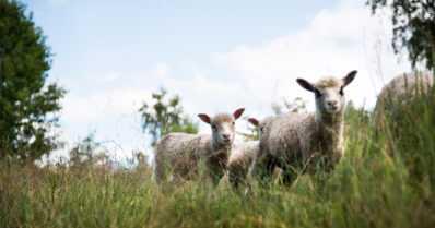 Terveysloma josta luontokin kiittää – nyt voi taas hakea lammaspaimeneksi luontokohteeseen