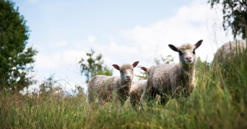 Lammas- tai lehmipaimenviikolla paimen saa vuokralle viikoksi tilan.