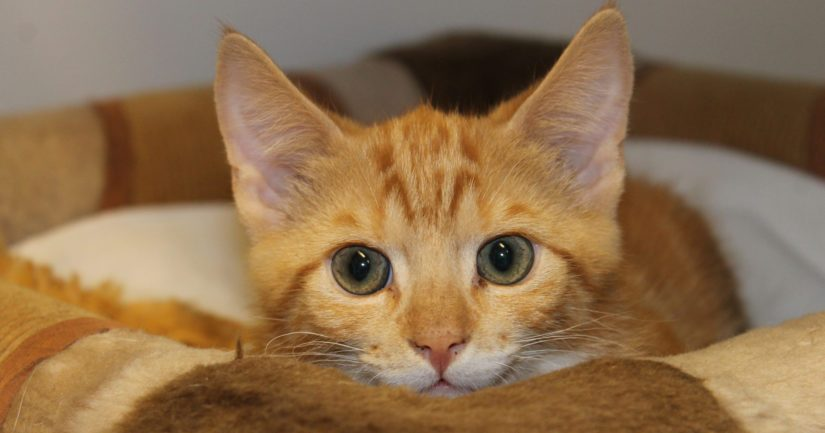 Kissapopulaatiosta eläinsuojeluyhdistyksen hoiviin pelastettu Lasse on vielä arka, mutta turvallisen ympäristön avulla kesyyntyy vielä mukavaksi kotikissaksi.