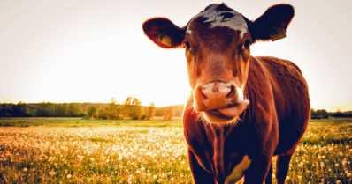"""Maitotilojen määrä putoaa, mutta pihviliha vetää – """"Kun lihansyönti vähenee, lihan laatu alkaa merkitä"""""""