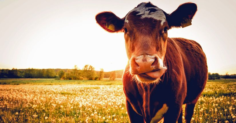 Suomalaisen lihan vahvuus on siinä, että antibiootteja käytetään vain vähän ja pelkästään lääkintään.