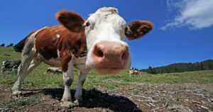 Rikollisesti toimineen puolalaisen teurastamon lihaa jäljitetään – 250 kiloa tuotu Suomeen