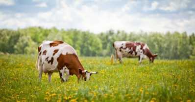 Lehmiä kuolee luontoon heitettyjen juomatölkkien vuoksi – alumiinisirpaleet päätyvät rehuun