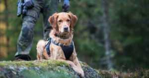 Nämä palkitut koirat valvovat turvallisuuttasi – yksi löytää huumeet, toinen kadonneet
