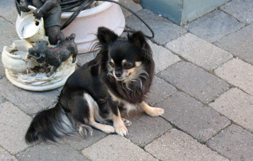 Chihuahua Lily haki apua tukehtumassa olevalle.