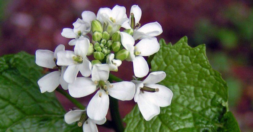 Litulaukka on saanut nimensä siitä, että sen murskattujen lehtien tuoksu muistuttaa valkosipulia eli kynsilaukkaa.