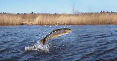 Ilmaston muuttuessa lohikalat häviävät Lapin järvissä ahven- ja särkikaloille