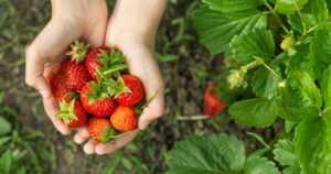 Ensimmäiset mansikat kypsyivät jo – luomumansikoita pääsee poimimaan heinäkuussa