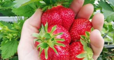 Kotimaista mansikkaa saadaan kevään ylioppilasjuhliin – kasvutunnelit ovat uusi innovaatio