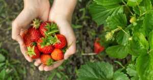 Marjoista ja hedelmistä viime vuonna hyvä sato – avomaanvihannekset kärsivät kuivuudesta