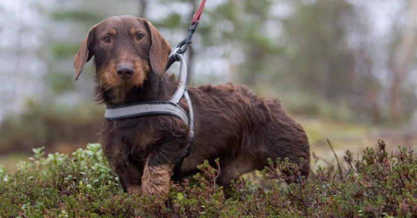 Luonnonsuojelualueilla kielto koira vapaana pitämiseen on ympärivuotinen.
