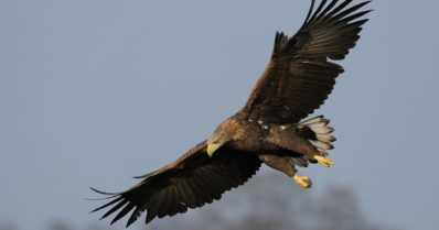 Loukkaantuneen merikotkan siivestä löytyi haulikon hauli – rauhoitetun linnun arvo on 7400 euroa
