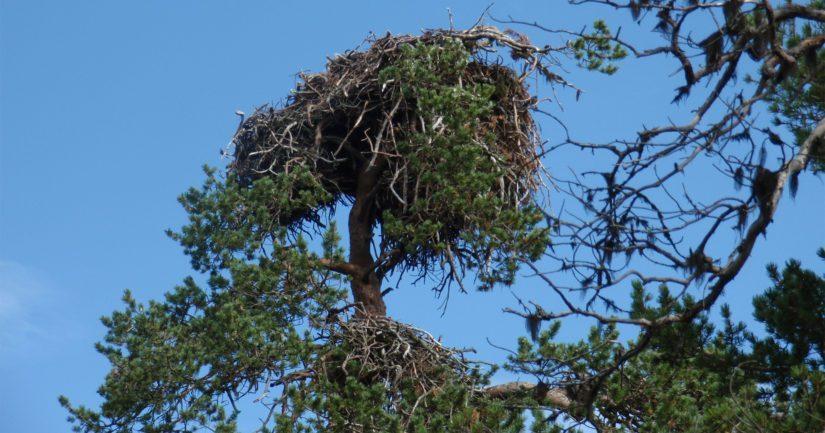Merikotka pesii yleensä puun latvukseen, ja sen pesä on rakennettu kuivista oksista.