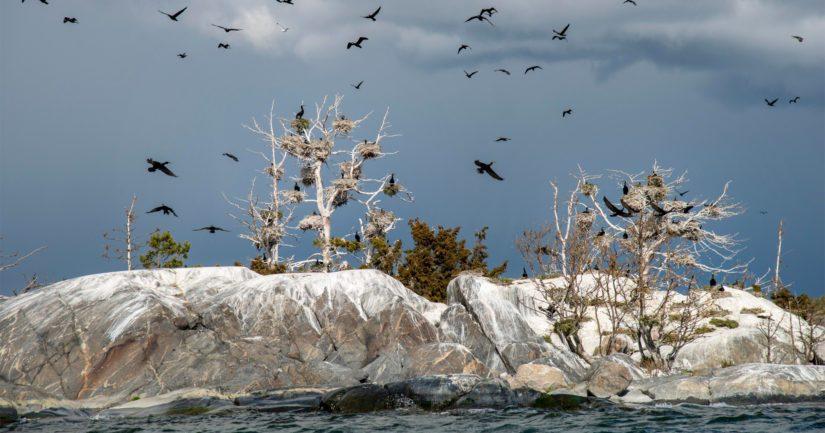 Suomen merimetsokanta on vakiintunut 26 000 pesivään pariin – yhdyskunta myös sisämaan lintujärvellä