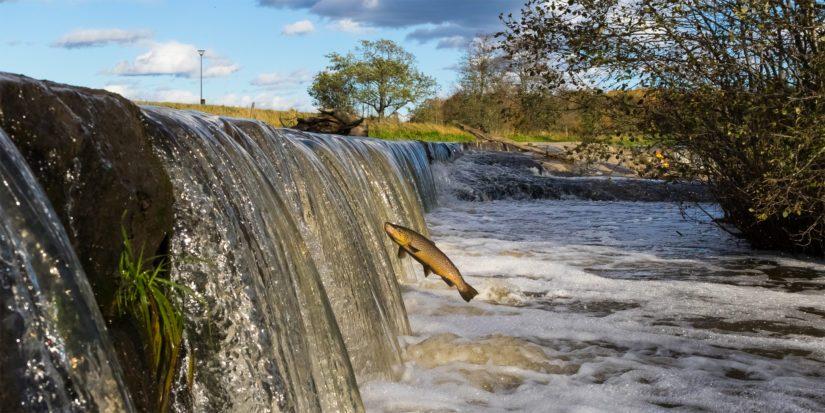 Patoamisen vuoksi esimerkiksi lohet, taimenet ja vaellussiiat eivät pääse nousemaan joissa ja puroissa sijaitseville lisääntymisalueilleen.