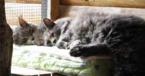Löytökissat Mimosa ja Leo saivat loppuelämän kodin –