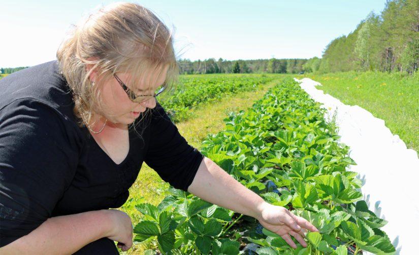 Mirka sanoo miettineensä mansikan rinnalle myös muita marjoja. – Hyvistä markkinanäkymistä huolimatta riski on liian iso panostaa vain yhteen marjakasviin.
