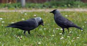 Naakka palasi pyydettävien lajien joukkoon – kannan kasvaessa ovat lisääntyneet myös vahingot