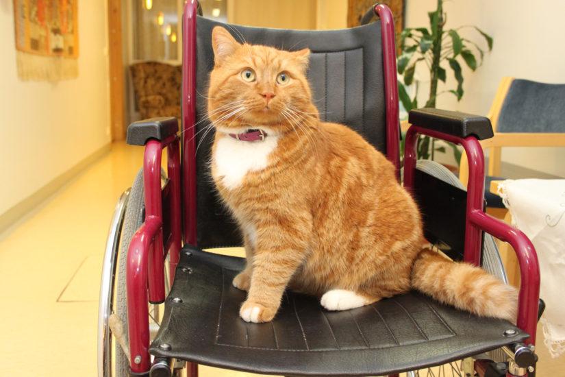 Kissa tuo hoitokotiin tärkeää ja tarpeellista kodikkuutta sekä lohduttaa omaisia. (Kuva Anne Anttila)
