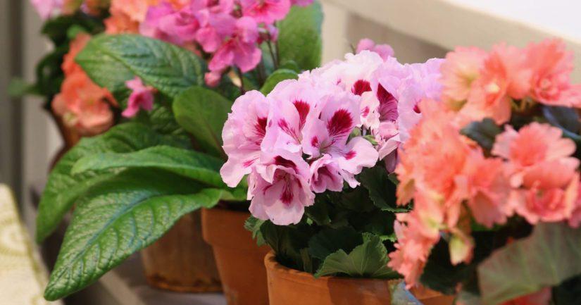 Pelargoni on yksi suosituimmista ruukkukasveista Suomessa.