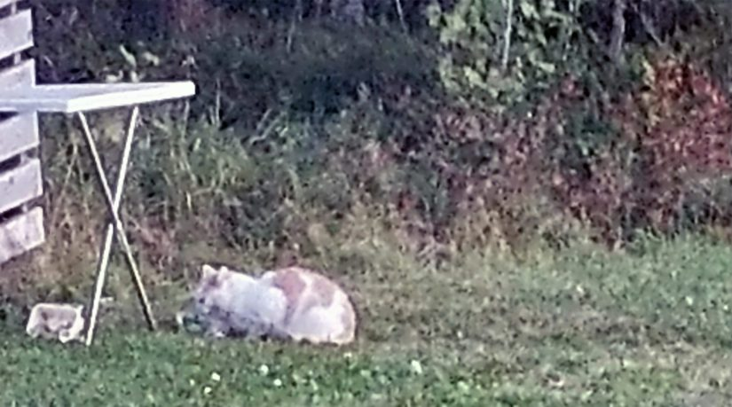 Parivuotias Pertti on jo vuoden vaeltanut kodittomana ympäri kotikuntaansa. Kulkuria yritetään houkutella kiinni ruoka-annoksilla.