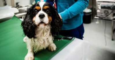 Uusi lääke auttaa hoitamaan koirapotilaita turvallisemmin