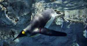 Uudella verkkosivustolla voi kysyä mitä vain ilmastosta – Miten pingviineille käy ilmastonmuutoksessa?