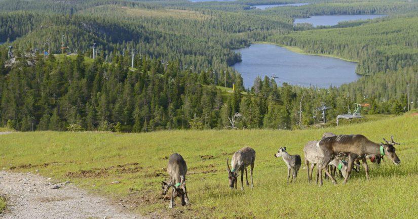 Metsästysaikaan koirien ja porojen kohtaamiset ovat yleisiä eikä vahingoilta voida täysin välttyä.
