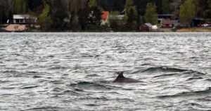 Saaristomerellä uiskentelevat pullokuonodelfiinit voivat hukkua verkkoihin – taustalla surullinen historia Suomessa