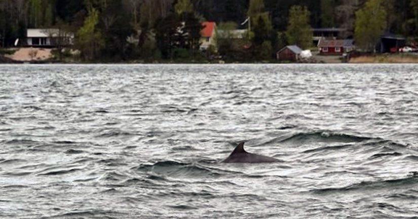Pullokuonodelfiini näyttäytyi muutama päivä sitten Taalintehtaalla.
