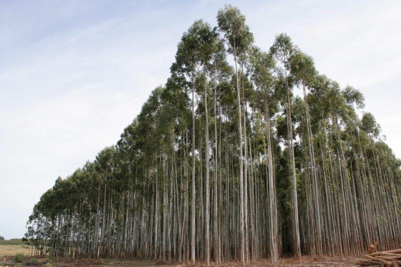UPM:llä on Uruguayssa 382 000 hehtaaria omia ja vuokrattuja puuviljelmiä.