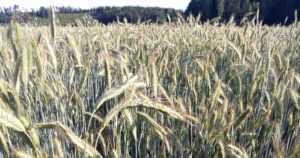 Lämmin kesä kasvatti hyvän ruissadon – kotimaista ruista riittää taas ruisleivän leivontaan