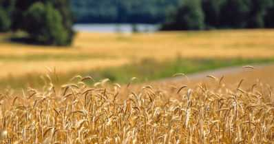 Suomeen tulossa 2000-luvun pienin viljasato – ruissato puolittuu, vehnäsato vähenee kolmanneksen