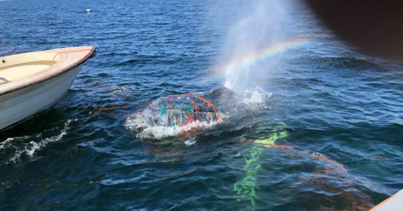 Kalastaja auttoi ilmeisesti kalojen perässä rysään uineen valaan irrottamisessa.