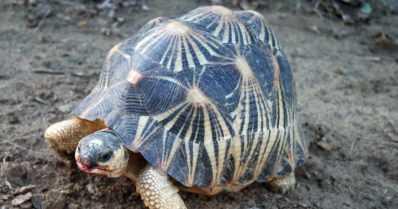 Järkyttävä salakuljetusyritys – talosta löytyi jättimäisessä takavarikossa yli 10 000 uhanalaista kilpikonnaa